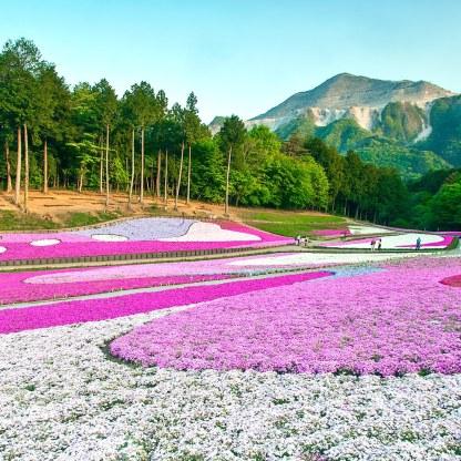 hitsujiyama-park-pink-moss-GettyImages-557696585