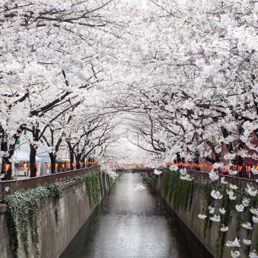 meguro-river-cherry-blossoms-GettyImages-166147357