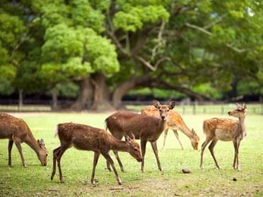 nara-park-deer-GettyImages-485184643